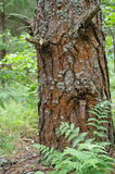 Pine with cracks on the bark like a human face in sorrow. Close up Royalty Free Stock Photos