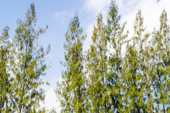 Pine Crest royaltyfri fotografi