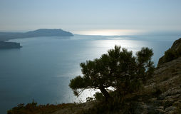 Pine at Crimea coast Royalty Free Stock Photos