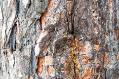 Pine Crust. Old pine tree, crust shooted for background Stock Images