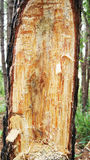 Pine cut. Tree a pine a cut аbstract background in forest Royalty Free Stock Images