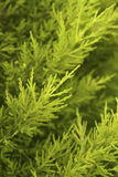 Pine Cypress stock photography