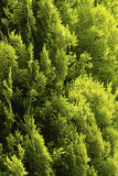 Pine Cypress Stock Images