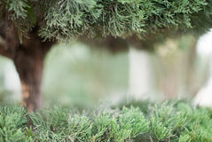 Pine and cypress. A pine tree a wild profusion of vegetation Stock Photography