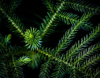 Pine in the darkness Stock Photos