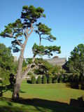 A pine in Dartington Hall. A view of the garden of Dartington Hall in Devonshire, United Kingdom Stock Photography