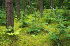 Pine and deciduous forest. Royalty Free Stock Image
