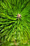 Pine - detail. Beautiful detail of pine tree Royalty Free Stock Photography