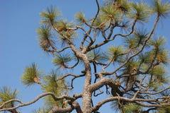 Free Pine Detail Royalty Free Stock Image - 645576
