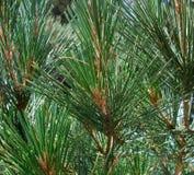 Pine detail Stock Image