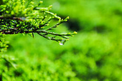 Pine with dewdrop Stock Photo