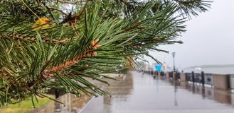 Pine with drops of rain close-up on the river embankment away wet pavement stock photos