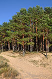 Pine dunes. Saulkrasti, Baltic Sea, Latvia. Royalty Free Stock Photography