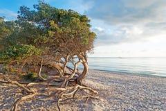 Pine at dusk Stock Photo