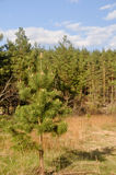 Pine in early may. Stock Photography