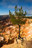 The pine at the edge Stock Photos