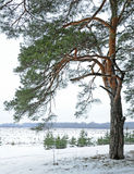 Pine on the edge of a forest Stock Photos