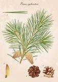 Pine förgrena sig Royaltyfri Foto