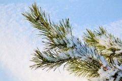 Pine förgrena sig Royaltyfri Fotografi