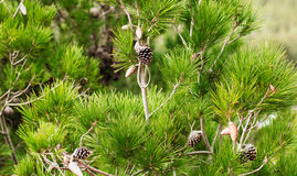 Pine förgrena sig med kottar Fotografering för Bildbyråer
