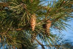 Pine förgrena sig med kottar Arkivfoton