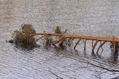 Pine fallen in the water. Stock Images