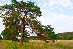 Pine in the field Stock Photography