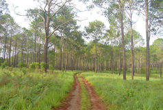 Pine field. At thungsalangluang national park, pitsanulok province Stock Image