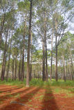 Pine field. At thungsalangluang national park, pitsanulok province Stock Photography