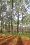 Pine field Stock Photography