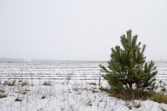 Pine in the field in winter stock photography
