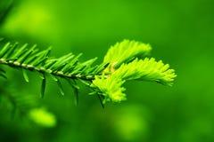 Pine fir Royalty Free Stock Photo