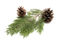 Pine and fir Royalty Free Stock Images