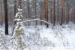 Pine fir branch under the snow. Winter coniferous forest in the evening royalty free stock images