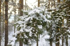 Pine fir branch under the snow. Winter coniferous forest in the evening royalty free stock photos