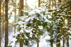 Pine fir branch under the snow. Winter coniferous forest. HDR. stock photo