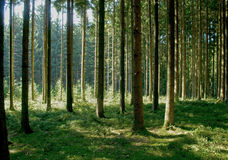 Pine and fir Royalty Free Stock Photography