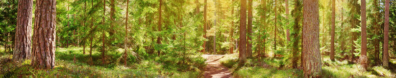 Pine and fir forest panorama. In spring. Pathway in the park Stock Photography