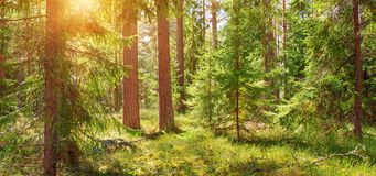 Pine and fir forest panorama Royalty Free Stock Photo