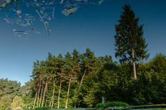 Pine and fir high. Reflection in water Royalty Free Stock Images