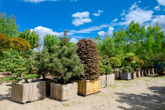 Pine and fir in pots and bonsai garden plants. Pine and fir in pots and bonsai garden plants on tree farm Stock Images