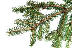 Pine fir tree branch Stock Photography