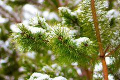 Pine, fir tree branches with snow Stock Images