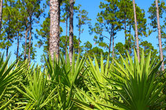 Pine Flatwoods - Florida. The beautiful pine flatwoods of central Florida on a sunny day Royalty Free Stock Images