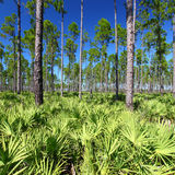 Pine Flatwoods - Florida Royalty Free Stock Photo