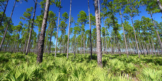 Pine Flatwoods - Florida Royalty Free Stock Image
