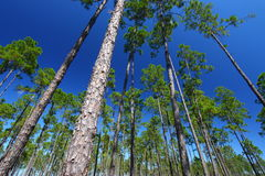Pine Flatwoods - Florida Stock Images