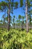 Pine Flatwoods - Florida Stock Image