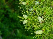 Pine floral background. Beautiful floral background with pine branches and cones Stock Photography