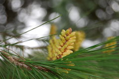 A pine flower Stock Photos